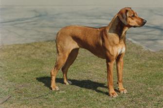 <p>SE UCH Aldonnels Alona var den första hund att erövra SRRS inofficiella titel CV genom avkommorna INT UCH NORD UCH Accyi, SE UCH Afra, SE UCH NO UCH Amber, SE UCH Anitra och SE UCH Athos.</p>